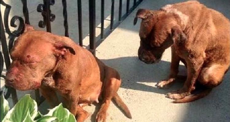 Due pitbull si fermano sul patio di una casa in cerca di aiuto. Ecco il loro salvataggio