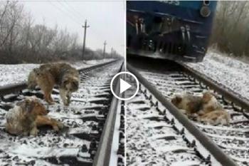 Cane si ferisce sulle rotaie: quello che farà un altro cagnolino vi farà venire i brividi