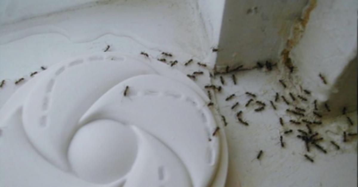 Come liberarsi delle formiche in modo naturale