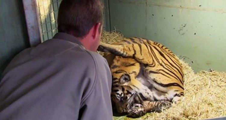 Tigre femmina partorisce e l'evento è davvero eccezionale