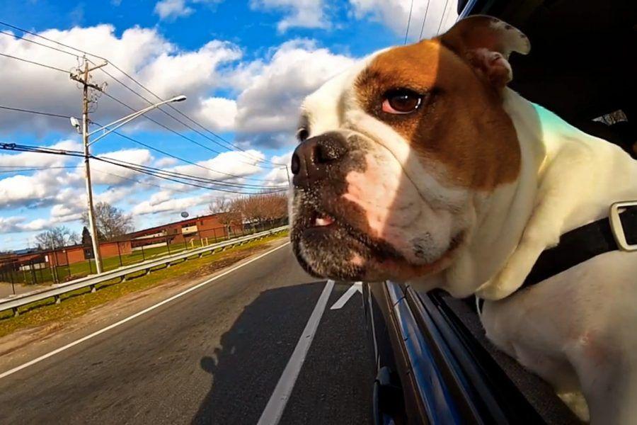 Come viaggiare in auto con i cani in tutta sicurezza
