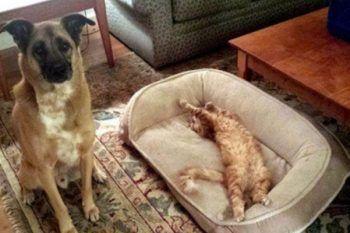 15 foto di gatti che hanno rubato il letto a cani e non hanno intenzione di ridarglielo!