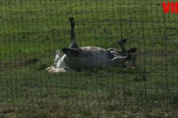 Elettricista trova cavallo morto: il proprietario ride quando glielo racconta