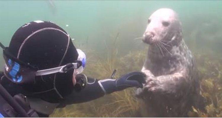 La foca si avvicina per avere dei grattini sulla pancia