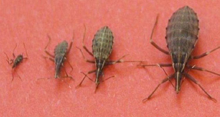 Vinchuca: se vedete questo insetto in casa, non toccatelo e chiamate aiuto