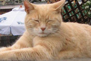 Il famoso gatto sindaco muore, dopo 20 anni di carriera