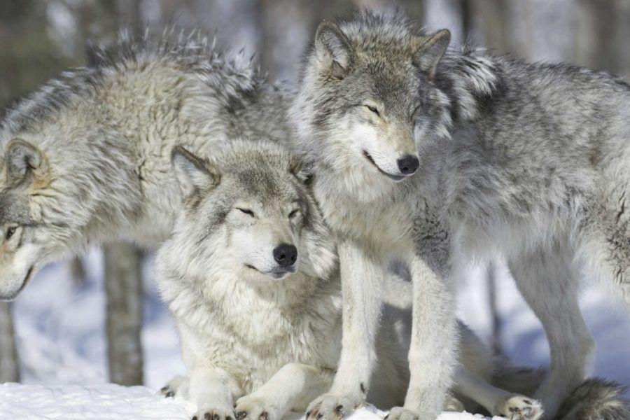 Cosa prevede il tanto discusso Piano lupo?