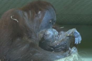 Mamma orango ripresa durante il parto