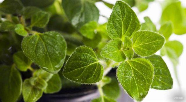 origano erba aromatica