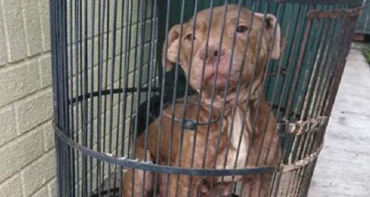 Il Pitbull Birdie è stato lasciato in una gabbia per uccelli