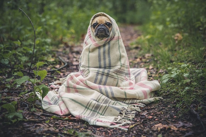 Carlino con coperta