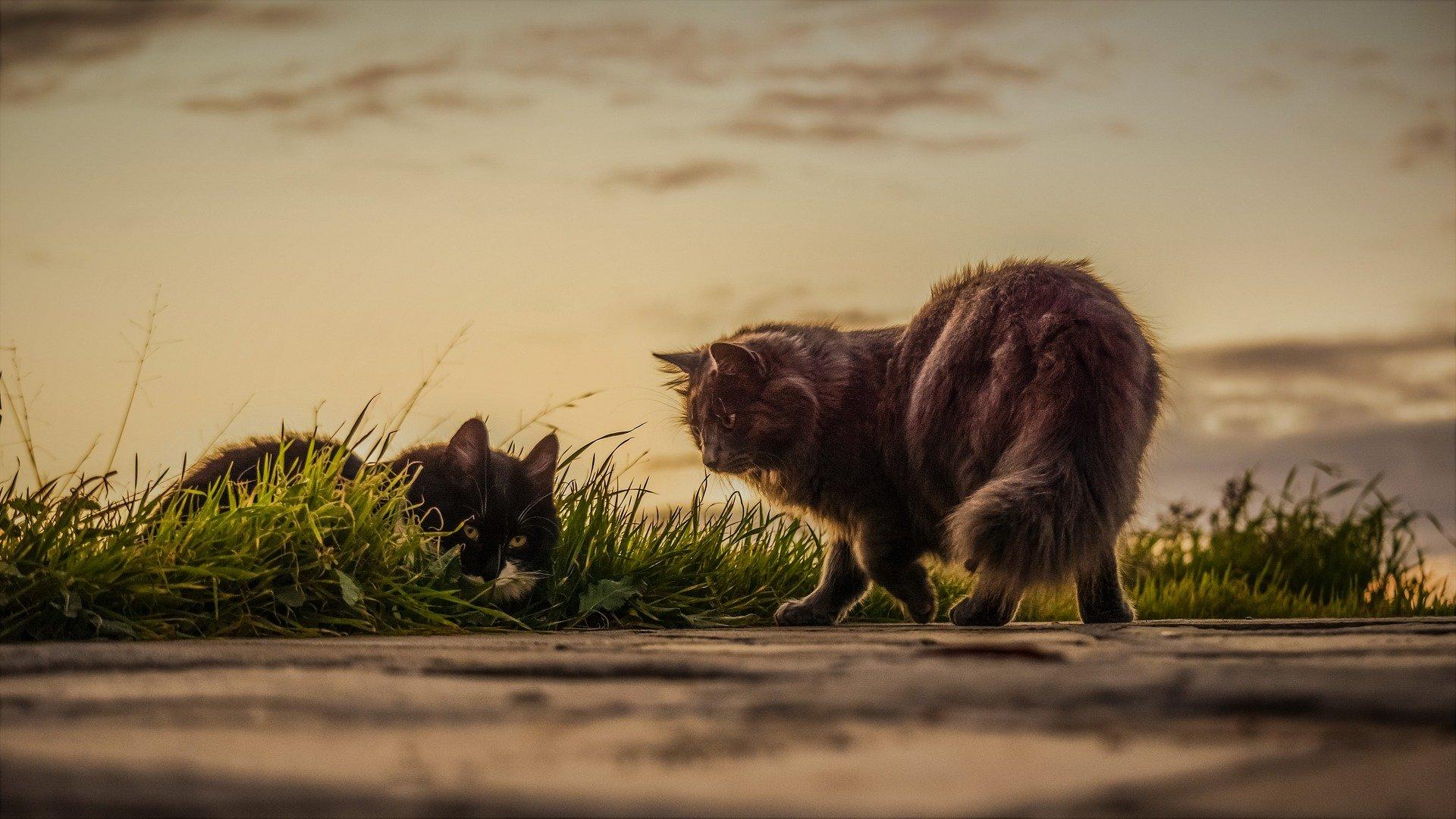 Gatti a pelo lungo