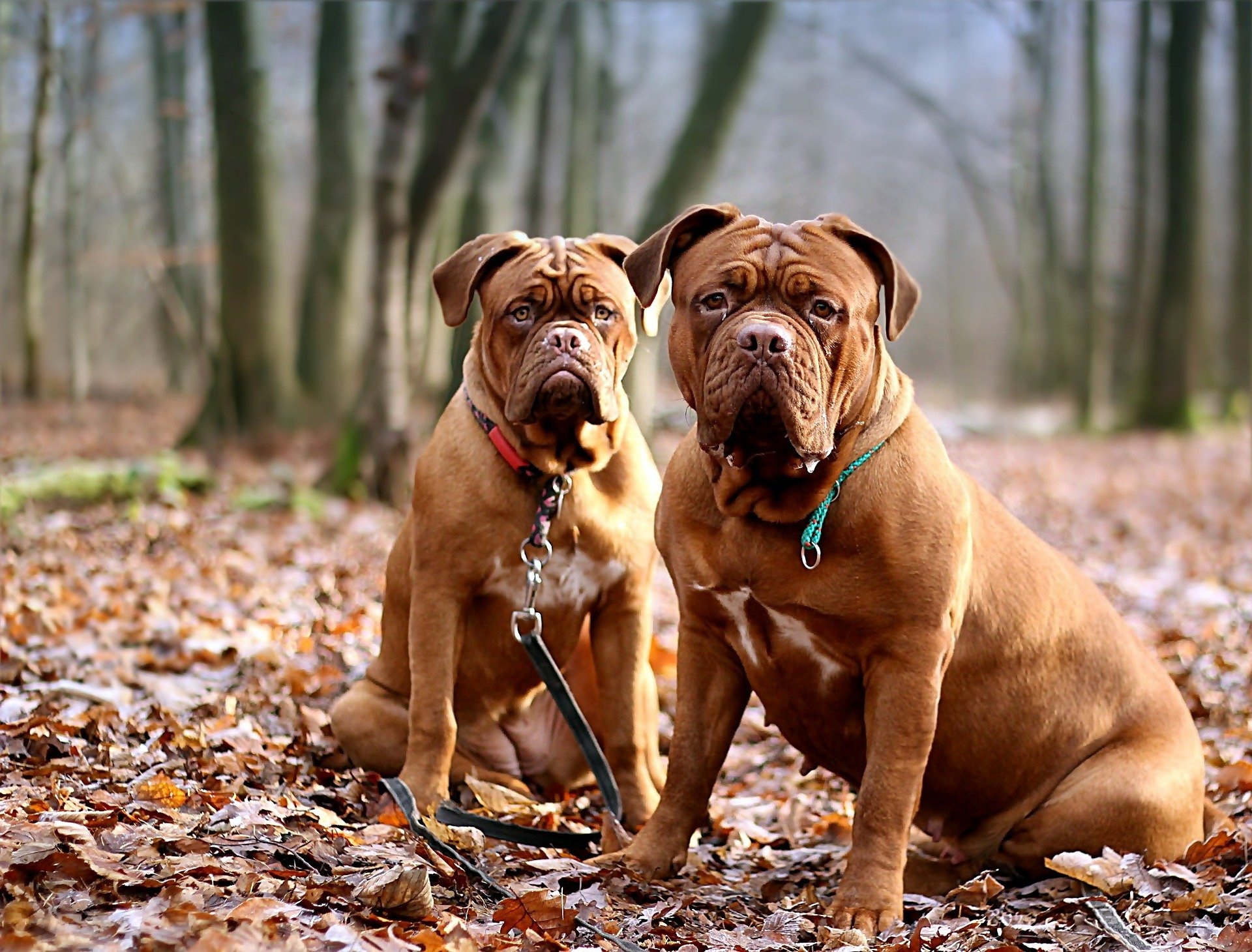 Coppia di Dogue de Bordeaux