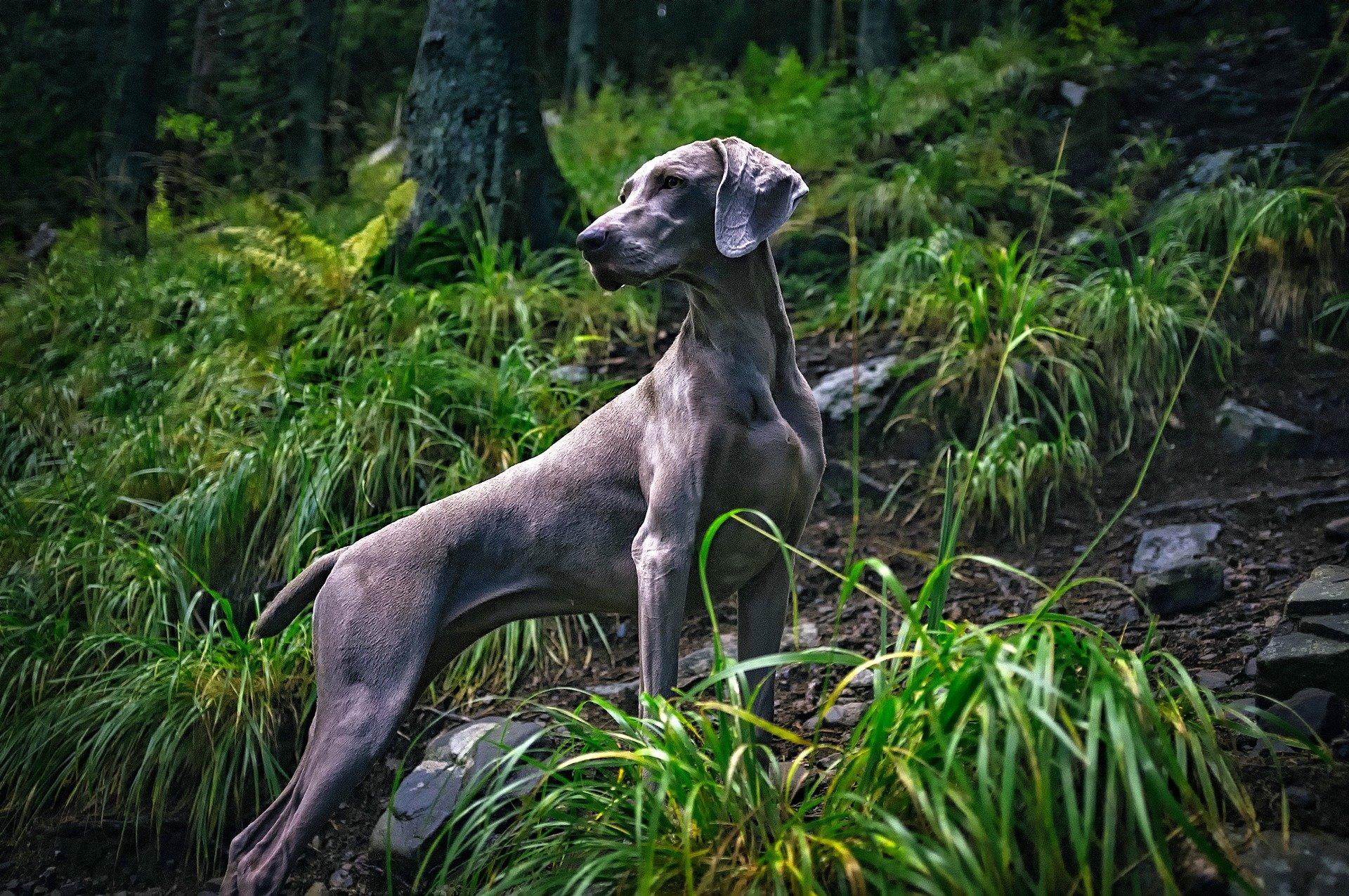 Weimaraner a spasso nel bosco