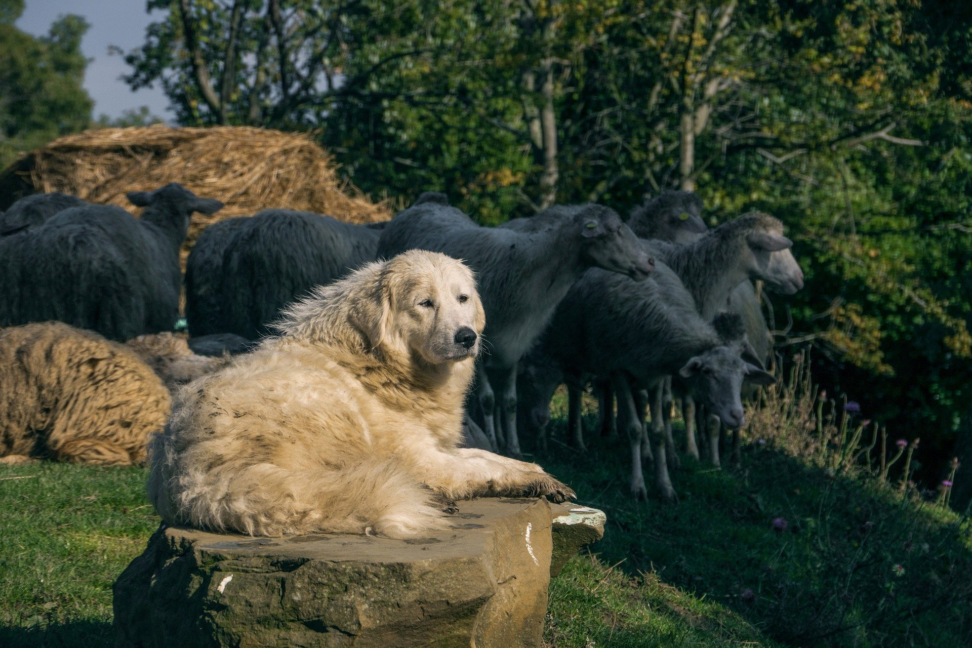 Pastore Maremmano-Abruzzese con le pecore