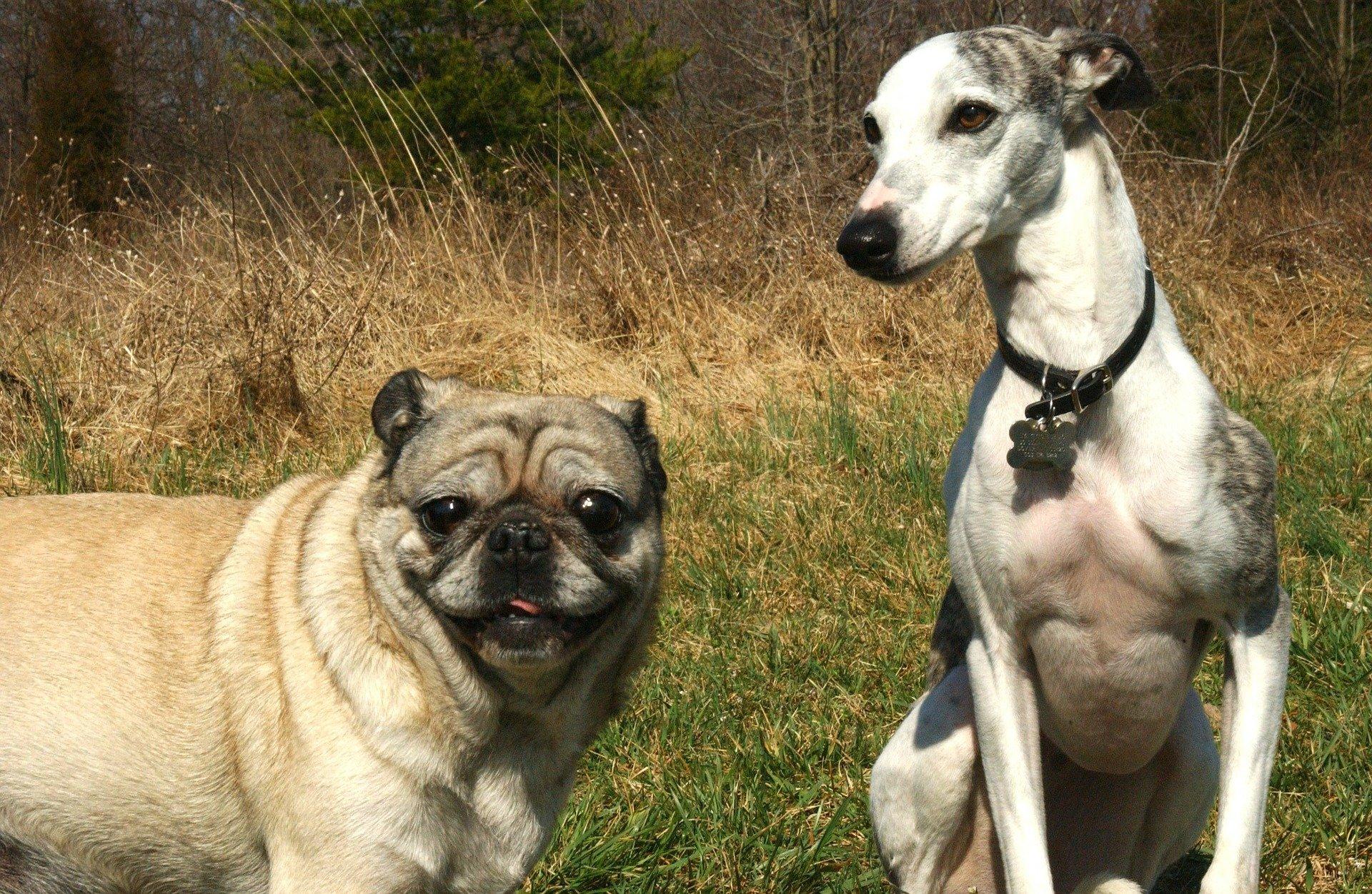 Duo canino