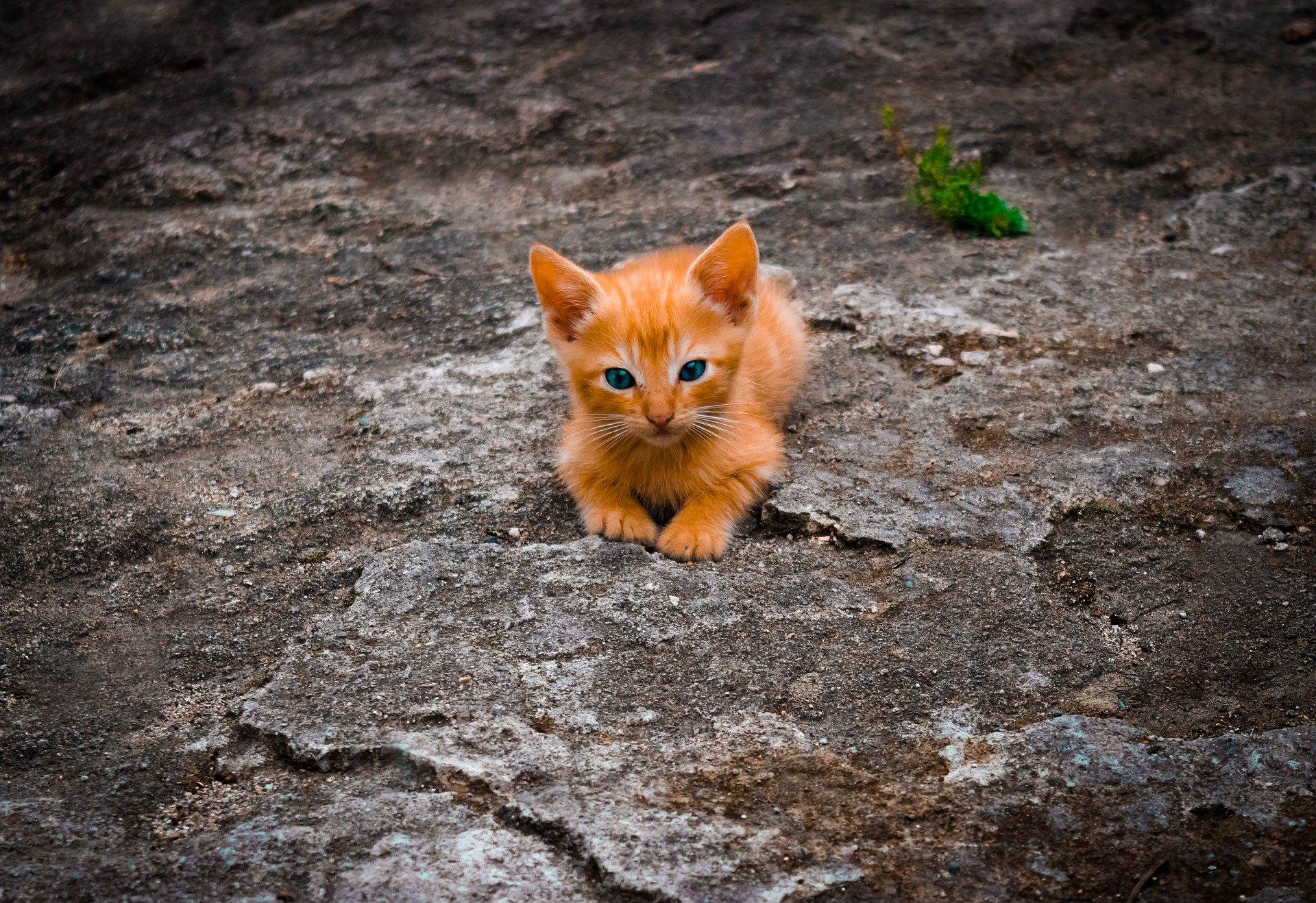 Gattino tigrato rosso