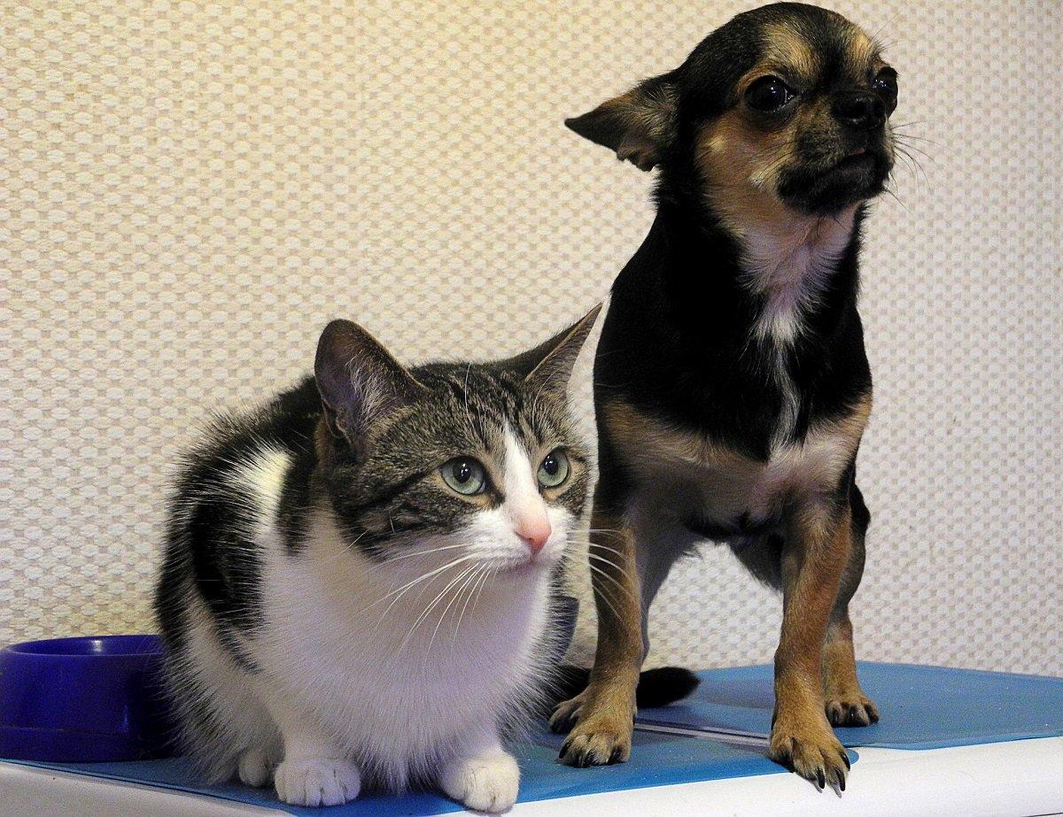 Gatto con Chihuahua