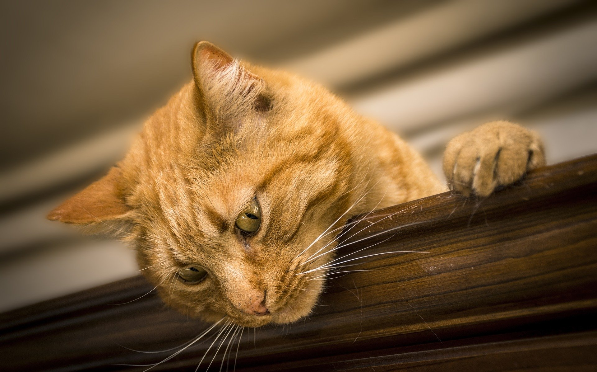 Gatto red tabby
