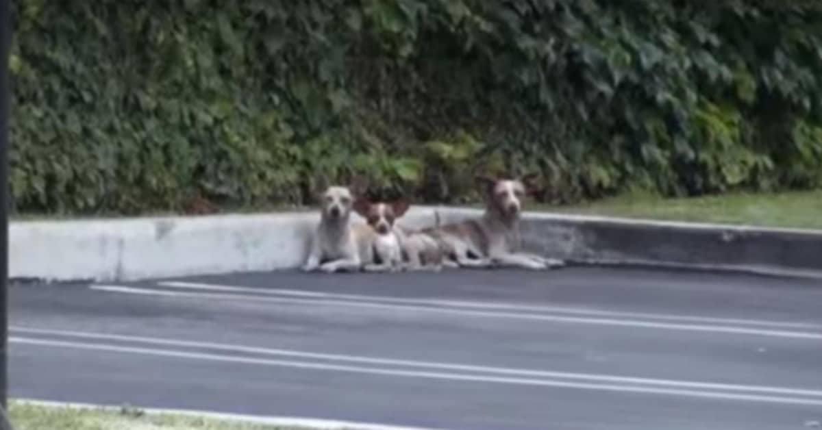 il-salvataggio-dei-3-chihuahua-abbandonati-in-un-parcheggio