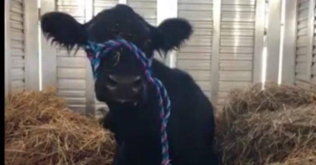 il-salvataggio-della-mucca 2