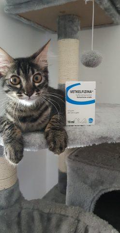 coccidi-gatto-vetkelfizina