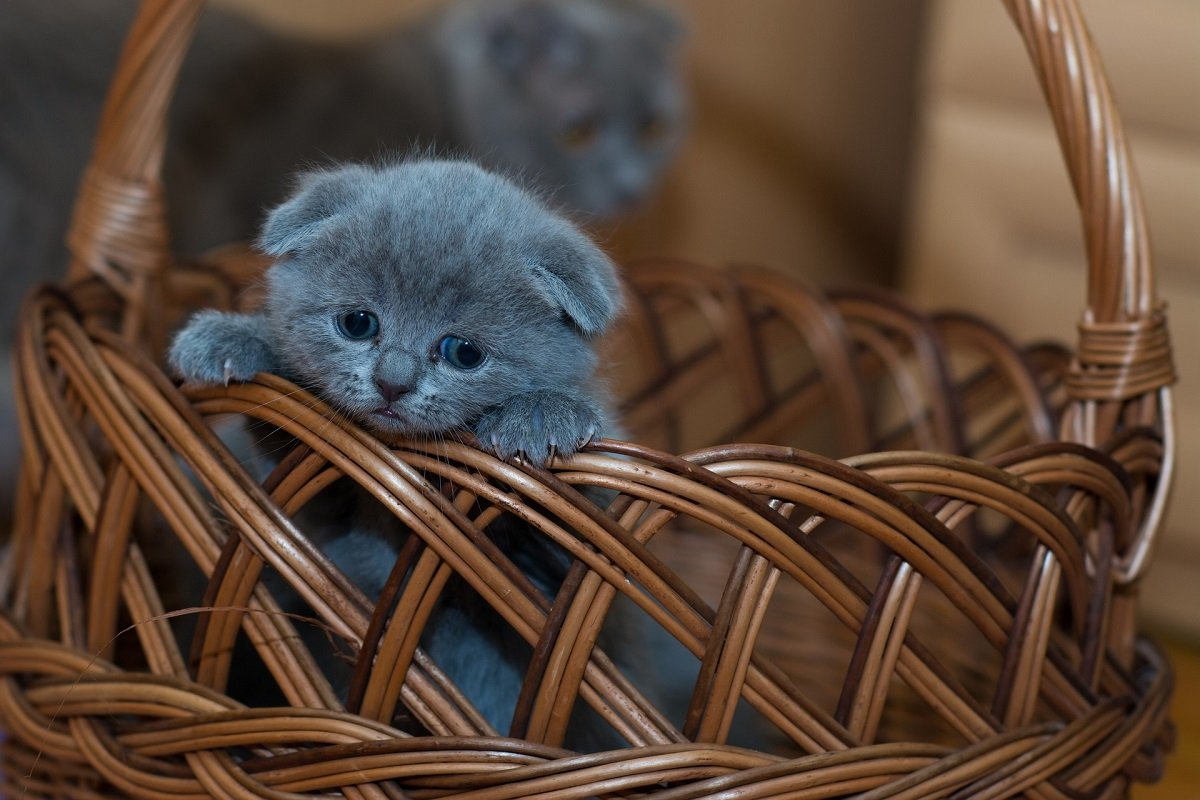 Gattino in un cestino
