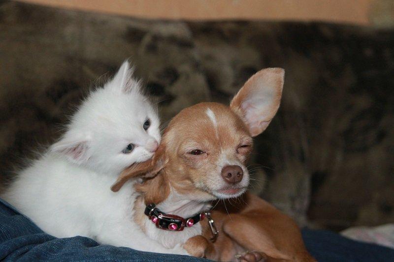 Gattino che importuna un Chihuahua