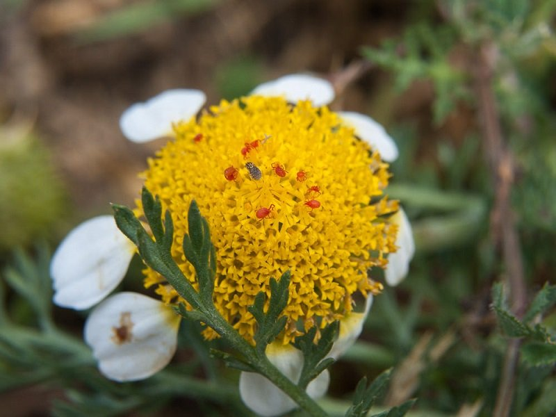 Adulto di Trombicula autumnalis