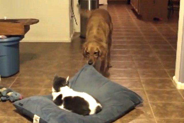 gatto-ruba-letto-al-cane 2