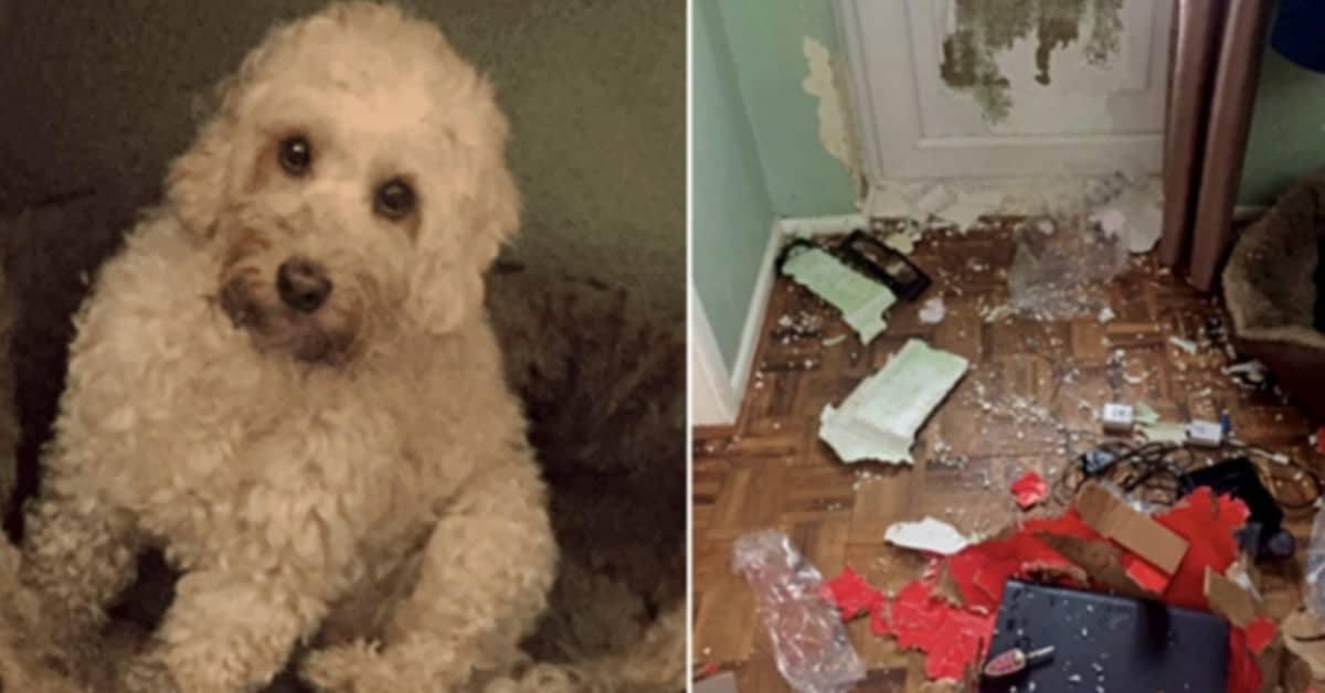 la-condizione-di-Bobbie-il-cane-che-ha-distrutto-tutto-alla-casa
