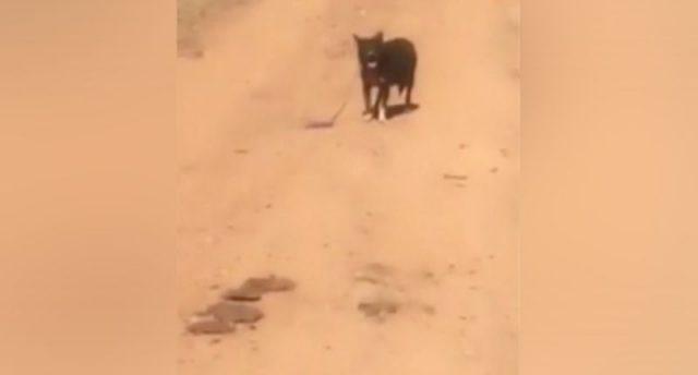 cagnolino-chiede-aiuto-per-il-suo-amico-umano-in-pericolo 2