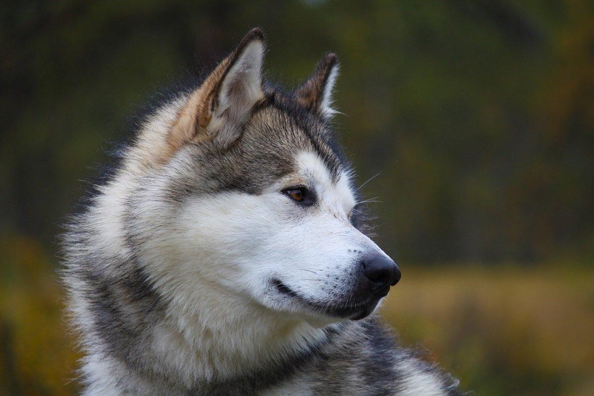 Alaskan Malamute adulto