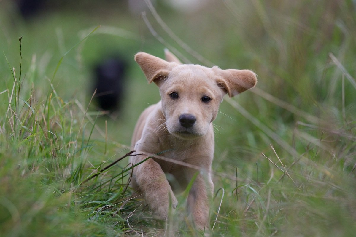 Cucciolo di Labrador miele