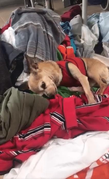 Paquito il Chihuahua profumo