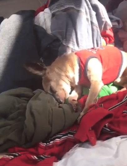 Paquito il Chihuahua