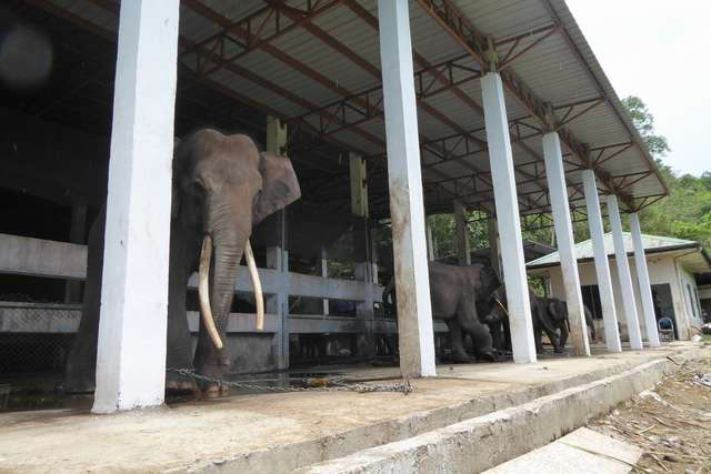 elefanti incatenati in Malesia