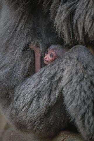 gibbone-argenteo-braccia-mamma