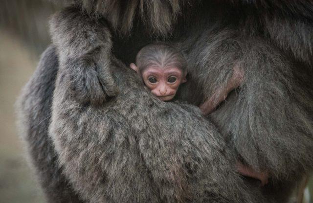 gibbone-argenteo-neonato