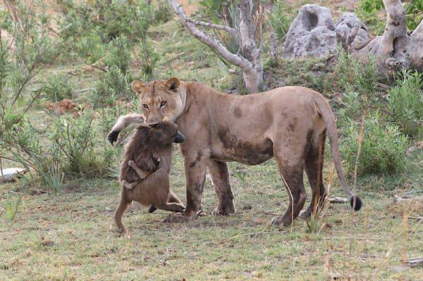 il-piccolo-babbuino-cade-nelle-grinfie-della-leonessa