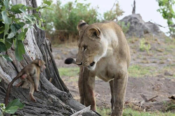il-piccolo-babbuino-cade-nelle-grinfie-della-leonessa1
