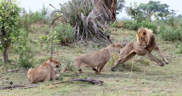 il-piccolo-babbuino-cade-nelle-grinfie-della-leonessa3