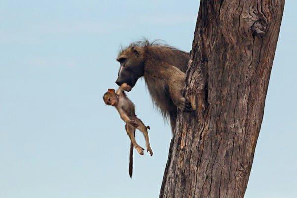 il-piccolo-babbuino-cade-nelle-grinfie-della-leonessa4