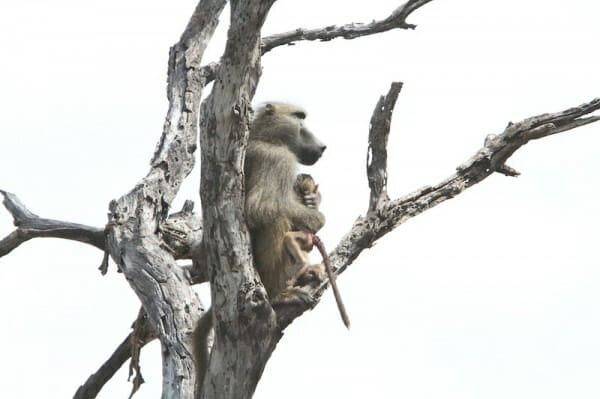 il-piccolo-babbuino-cade-nelle-grinfie-della-leonessa5