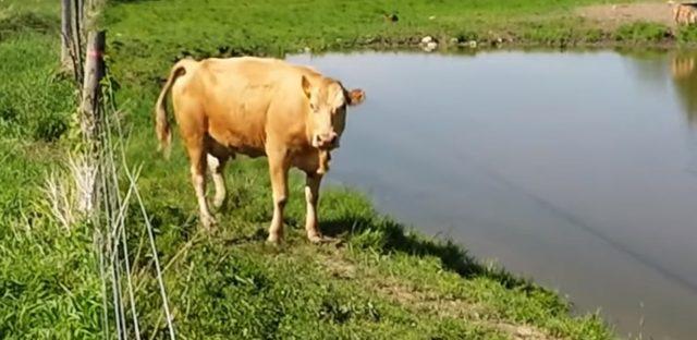 il-salvataggio-del-vitellino