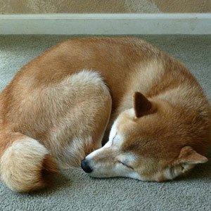 il-tuo-cane-quando-dorme-si-rannicchia-su-se-stesso2
