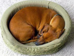 il-tuo-cane-quando-dorme-si-rannicchia-su-se-stesso4