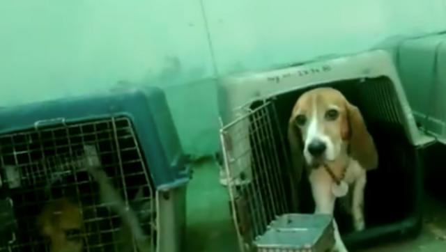 liberati-trenta-beagle