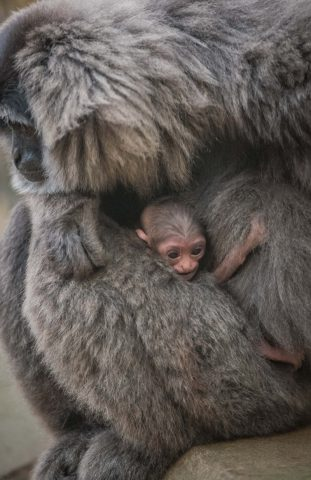 mamma-gibbone
