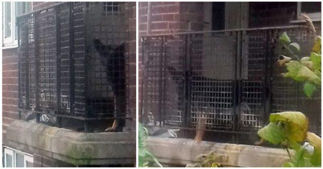 shane-il-pastore-tedesco-costretto-a-vivere-sul-balcone-tra-gli-escrementi